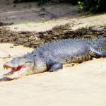 Crocodile-Daintree