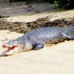 Crocodile-Daintree